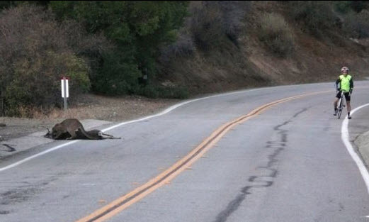 In this 2013 photo, P-23 drags a deer off Mulholland Highway as a cyclist happened to ride by.
