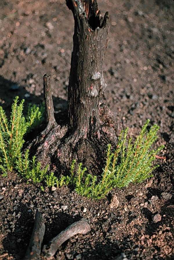 New leaves sprout from the base of a burned chamise, or greasewood, shrub after a wildfire.