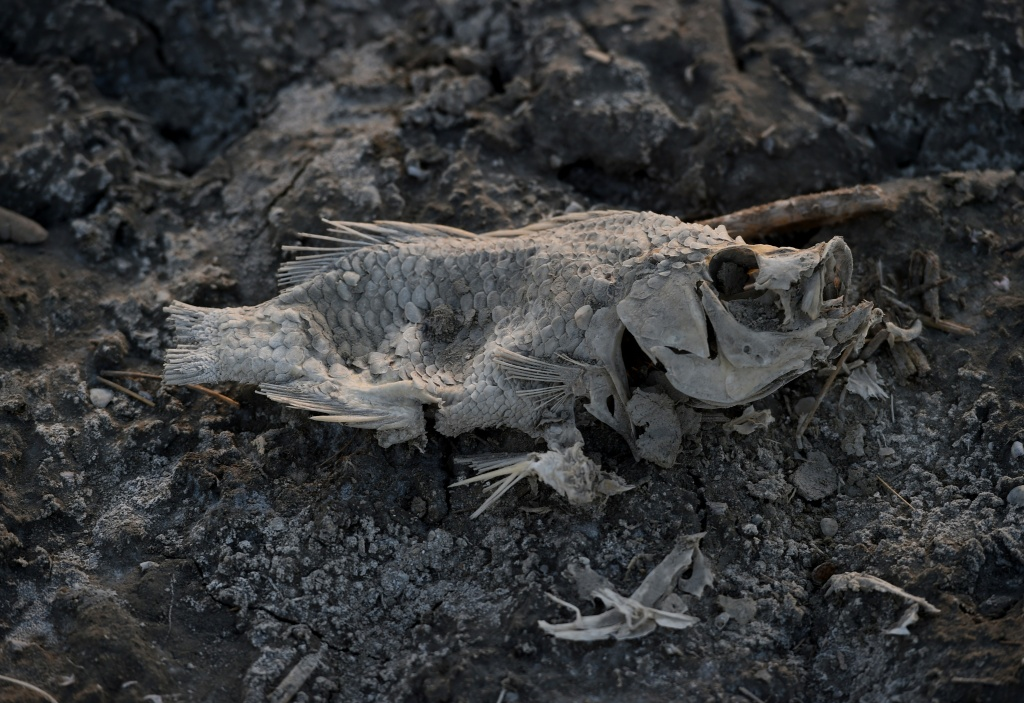 A dead fish lies on the shore next to the North Shore Yacht Club at the Salton Sea, California on March 19, 2015. California's largest lake is facing major environmental problems with a decreasing water level, increasing salinity and algae issues.