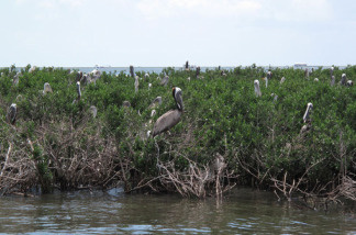 The pelican rookery at Cat Island is protected by double booms, yet many birds still show signs of oil contamination.