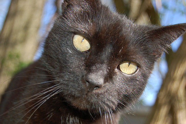A black cat stares into the lens of a camera. A UC Berkeley study says that stereotypes about a cat's fur color can affect whether or not a cat is adopted.