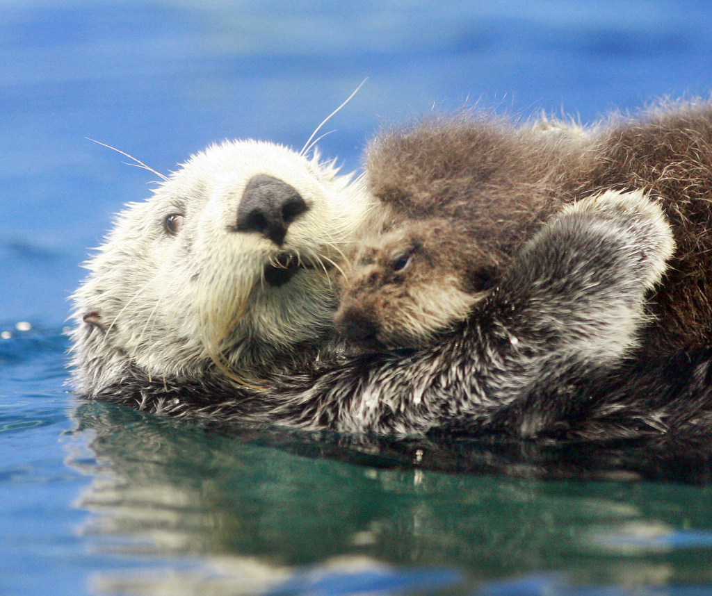A new study shows that sea otters are partially responsible for improved sea grass growth in Monterey Bay.