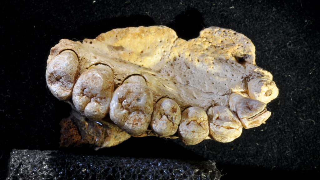 The fossil found in Misliya cave, showing details of the teeth. The details of the teeth - their shapes and sizes relative to each other — helped the scientists confirm that this belongs to <em>Homo sapiens</em>.