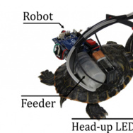 Researchers can control the movements of a turtle through a parasitic robot mounted on its carapace.