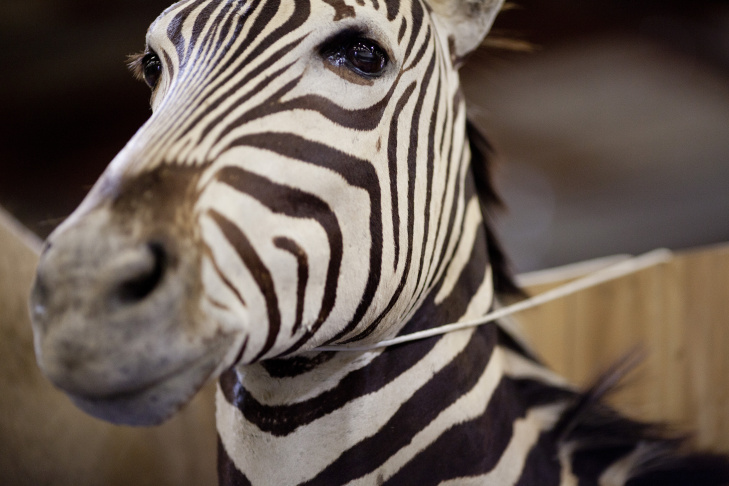 A zebra mount is one of a collection of exotic animal parts seized by the U.S. Customs and Border Protection from a shipment headed to the Philippines. This is the largest assortment of wildlife that the agency has ever seized at the Los Angeles or Long Beach ports, said Todd Owen, director of field operations in Los Angeles.
