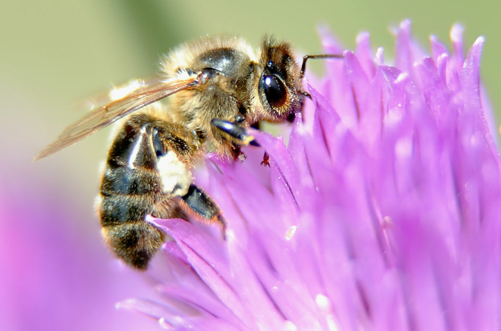 Picture of a bee taken in Godewaersvelde, northern France, on June 1, 2012.