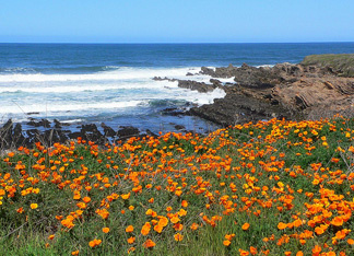 This is a majestic view of Montana de Oro State Park near Morro Bay, Califr., with California Poppies lining the Bluff Trail.