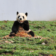 CHINA-NATURE-GIANT PANDA