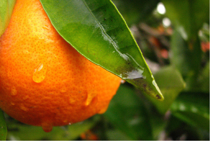 California's citrus plants could be in trouble if a disease known as