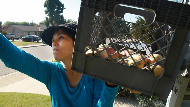 Sarah Ramirez gleans apples from a front yard in Visalia, Calif.