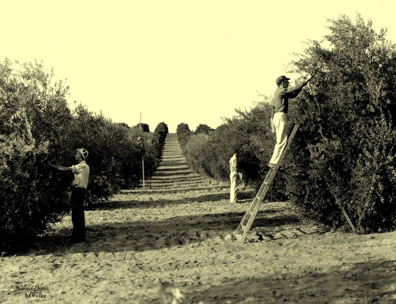 Workers picking olives in an orchard near Oroville, date unknown.