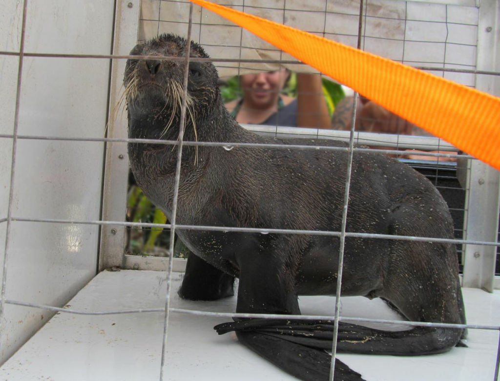 A northern fur seal is seen in a cage in Haleiwa, Hawaii. Northern fur seals live in waters around the Aleutian Islands and California, but NOAA officials found an emaciated, underweight and weak member of the species thousands of miles away on Oahu's North Shore.