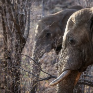 Elephants roam through trees and low bush on Septemebr 19, 2016 at the Pilanesberg National Park in the North West province, South Africa. They are among the animals mentioned in the report.