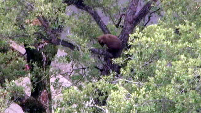A bear cub looks down at its mother and sibling after climbing an Altadena tree.