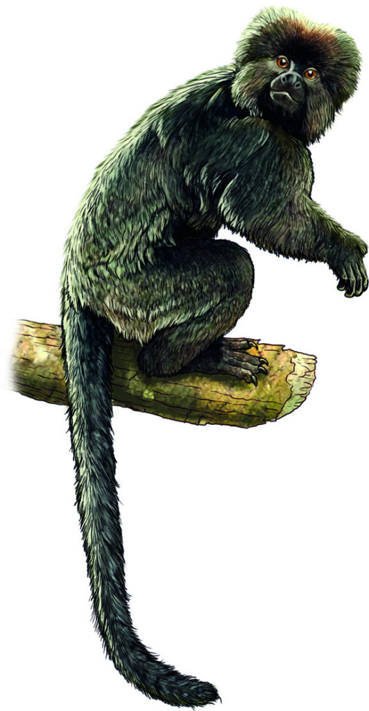 Artist rendering of what South America's oldest known monkey might have looked like.  It was about the size of a squirrel, but with a longer tail, and probably weighed less than 250 grams (~0.5 lbs). Artist: Jorge González