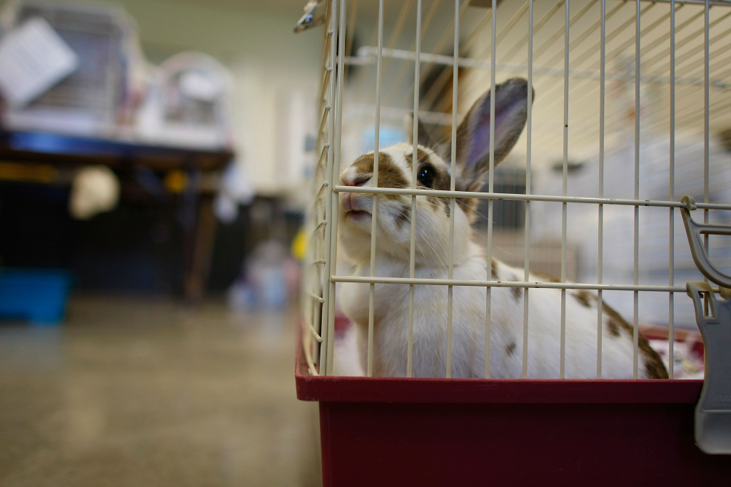 A rabbit sits in a cage after being dropped off at the animal shelter setup at the Animal Health Technology Center at Kirkwood Community College for pets either found abandoned or that people drop off after the Cedar River inundated the city with flood waters June 22, 2008 in Cedar Rapids, Iowa.