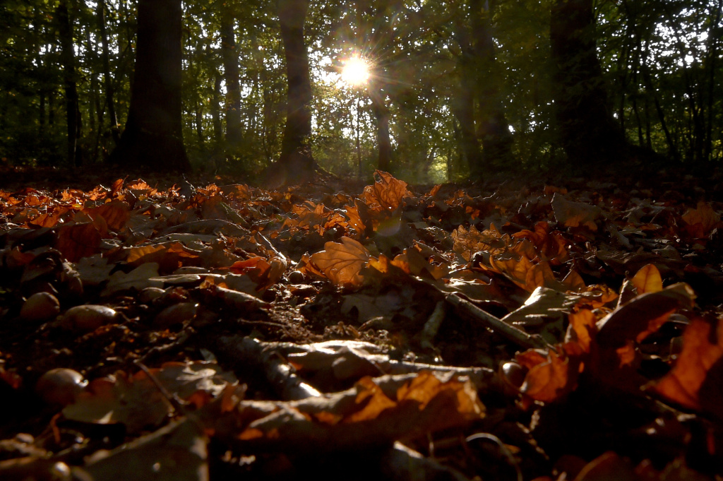 Dead oak leaves lay on the soil, under an autumn light in a wood in Vertou, France on October 17, 2017.