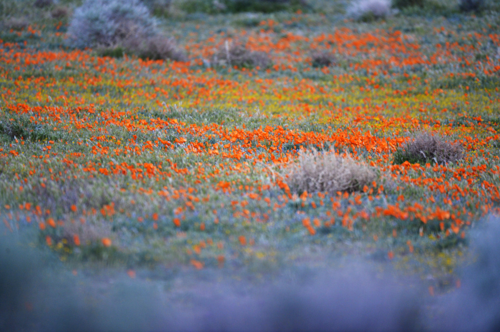 California Poppies growing near the Antelope Valley California Poppy Reserve near Lancaster, CA Tuesday March 17, 2015.   Fire burn area recovery, California drought, and Poppy bloom in Los Angeles County, CA Tuesday March 18, 2015. Wildfire recovery from the Powerhouse Fire in 2013, Poppies at California Poppy Reserve.