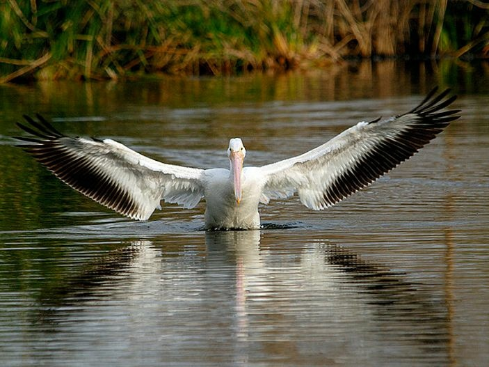 American White Pelican at Sepulveda Basin Wildlife Refuge.