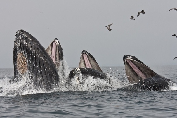 Three humpback whales surge upward, gulping the silvery anchovies that have been in abundance in Monterey Bay.