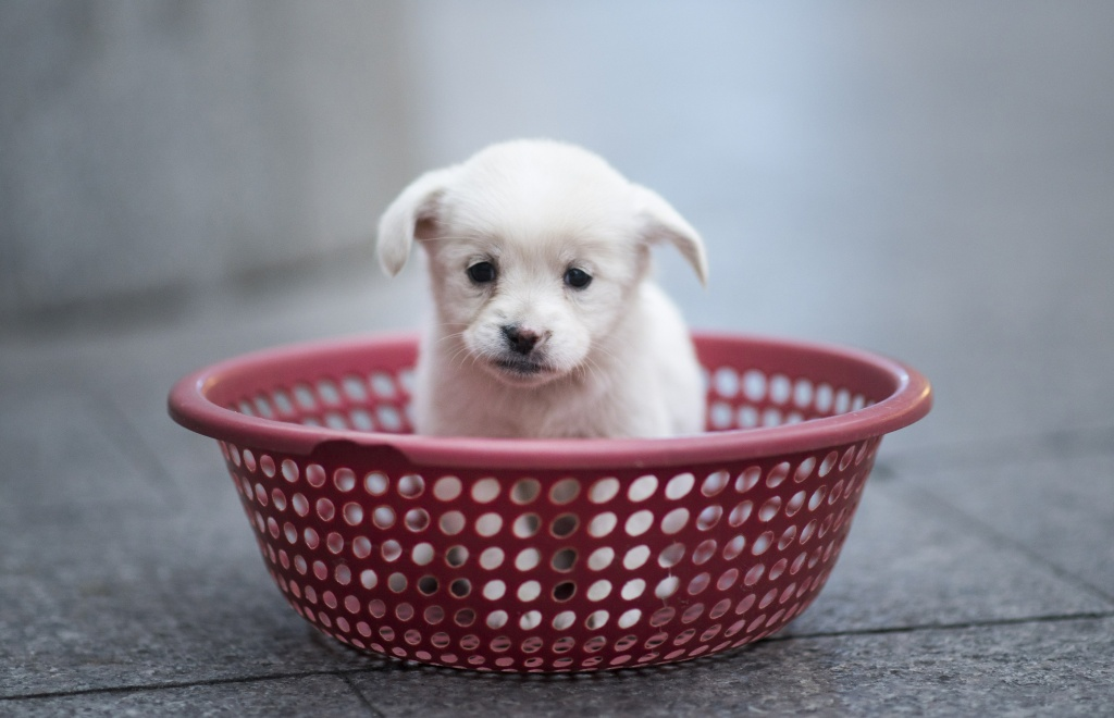 A puppy sits in a plastic strainer, waiting to be sold by its owner, in front of a subway station in downtown Shanghai on October 28, 2015.