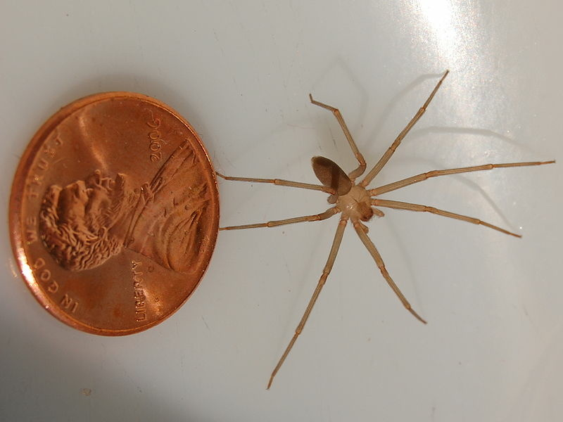 giant huntsman spider size comparison