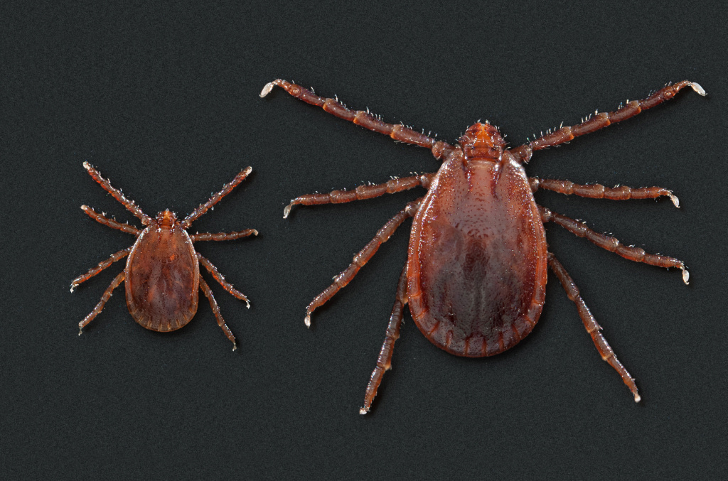 This photo depicts two <em>Haemaphysalis longicornis</em> ticks, commonly known as the longhorned tick. It <a href=