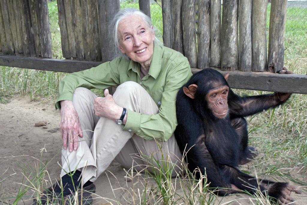 Jane Goodall with Motambo, an orphan at the JGI Tchimpounga Chimpanzee Rehabilitation Center.