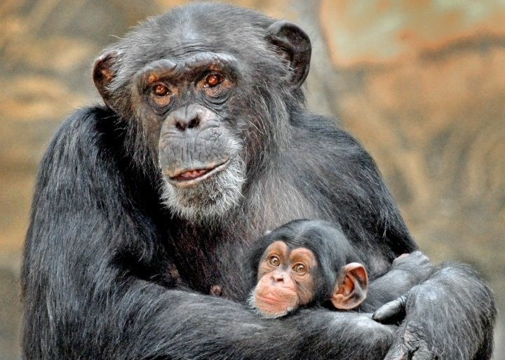 An adult chimpanzee in the L.A. Zoo exhibit cradles an unnamed baby female, first born since 1999. The pictured infant was fatally attacked in June.