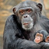 An adult chimpanzee in the L.A. Zoo