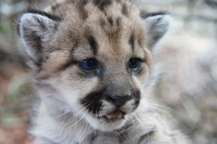 This file photo shows P-32, one of three cubs recently born in the Santa Monica Mountains. P-32 was found to be inbred, according to preliminary DNA evidence. Lack of genetic diversity is one of many problems facing local mountain lion populations. Another is traffic. In recent weeks, cars have killed three mountain lion kittens in Southern California.