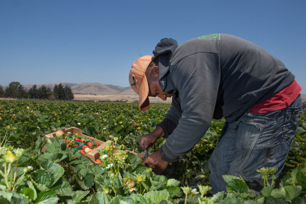 A migrant worker picks strawberries at a farm in Santa Maria, Calif. that contracts to sell the fruit to  Wal-Mart.