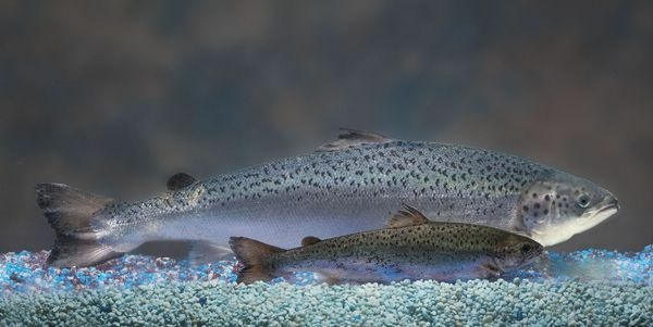 This undated 2010 handout photo provided by AquaBounty Technologies shows two same-age salmon, a genetically modified salmon, rear, and a non-genetically modified salmon, foreground.