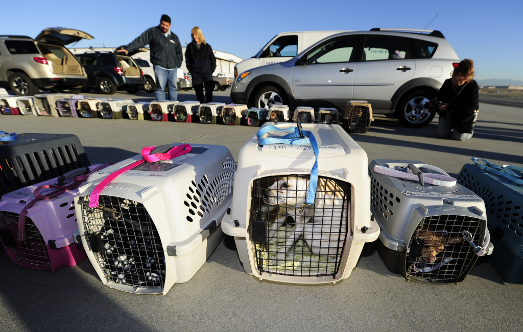 Some of the 58 homeless Chihuahuas and small mixed breed dogs from Los Angeles who are being flown to Edmonton, Canada for adoption as part of the Society for the Prevention of Cruelty to Animals Los Angeles (spcaLA).