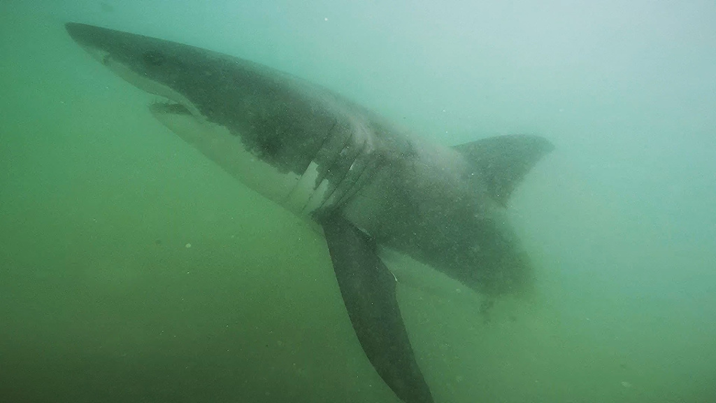 A juvenile white shark passes by a remote underwater video system off Manhattan Beach in summer, 2015.