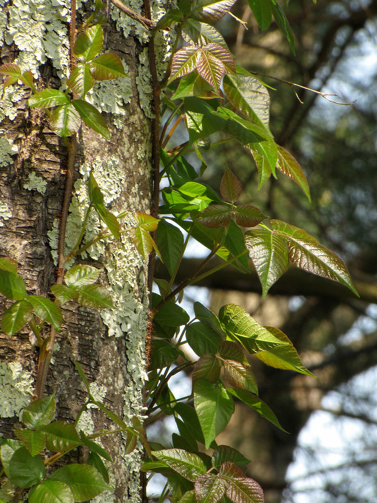 Here, fresh spring foliage of poison ivy vines climbing up some trees. Urushiol, the chemical in poison ivy, is also harvested from the Japanese lacquer tree to coat lacquerware.