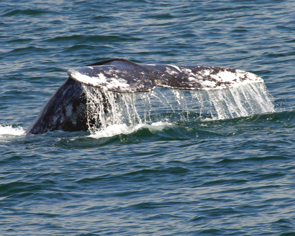 The fin of a California Gray Whale is spotted off the coast of Dana Point.