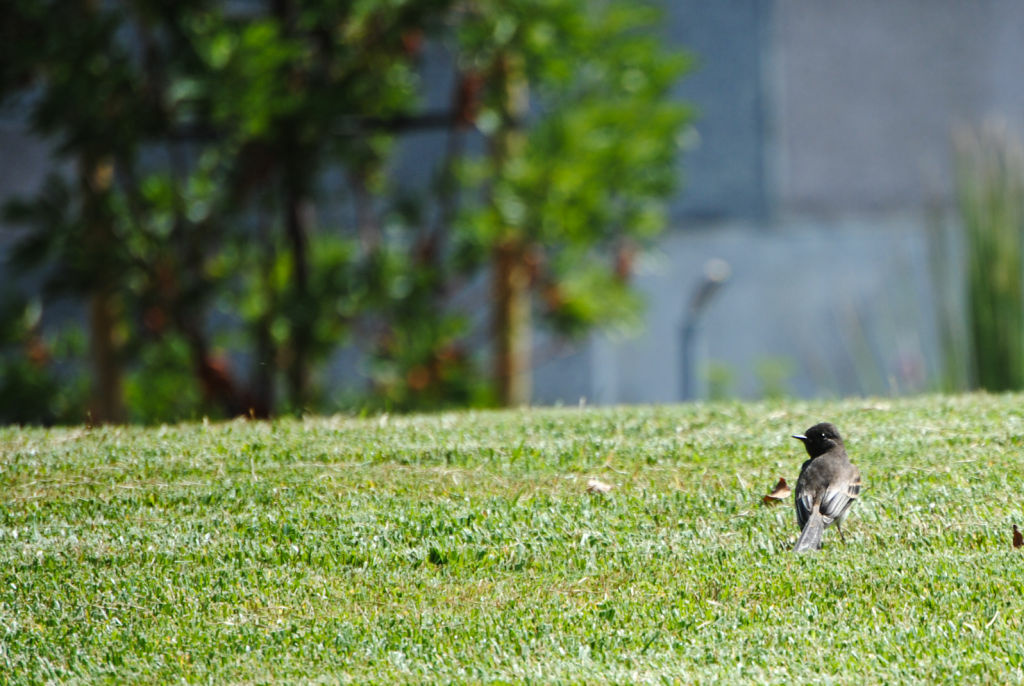A bird relaxes on recently-planted grass in LA's City Hall Park. The lawn designed after the Occupy movement is expected to attract more birds and insects.