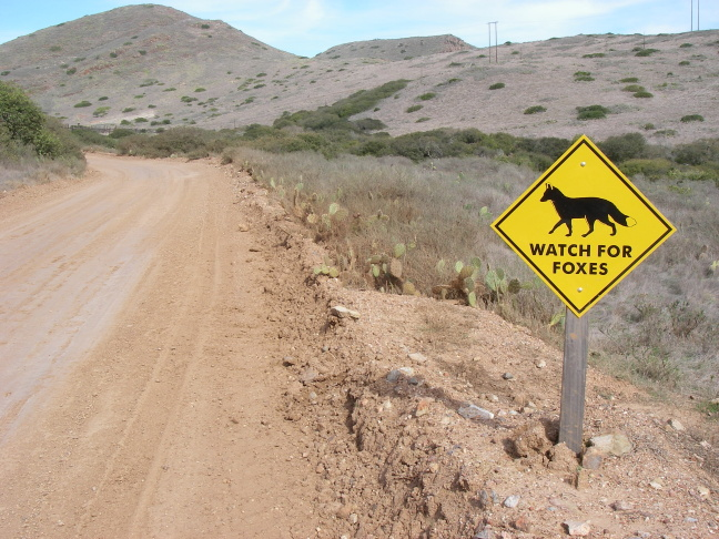 A sign warning drivers to watch for foxes, which are expanding into more populated parts of Catalina Island.