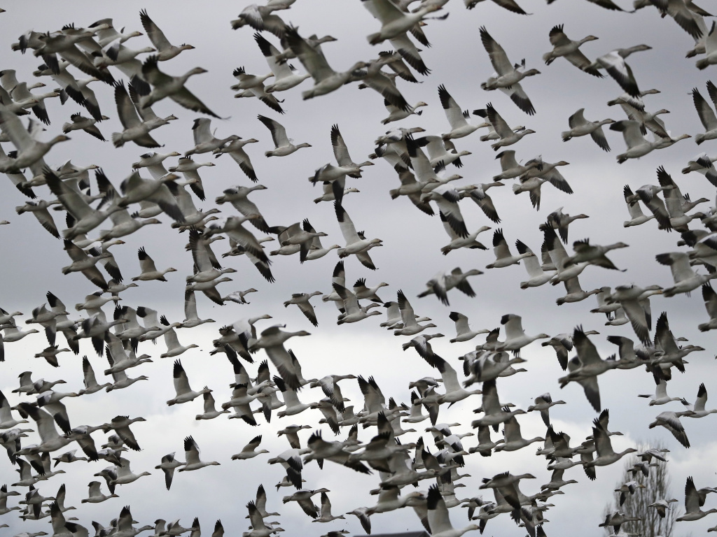Thousands of snow geese take flight near Conway, Wash. in 2019. The Biden administration is reversing a policy under President Trump  that drastically weakened protections for most U.S. bird species.