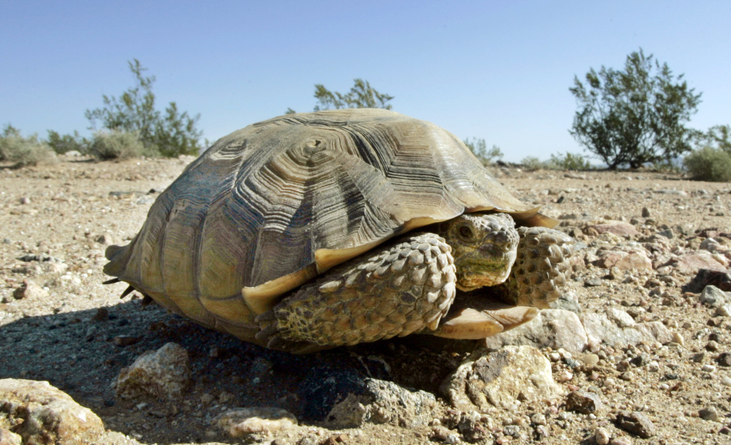 An endangered desert tortoise sits in the Mojave Desert near Ivanpah, Calif. on Sept. 3, 2008.