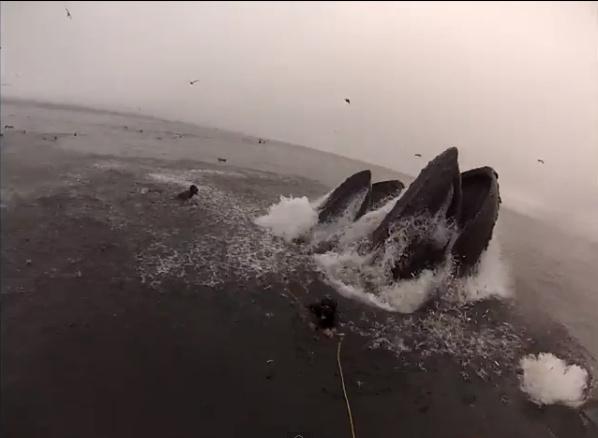 humpback whales central coast diver video
