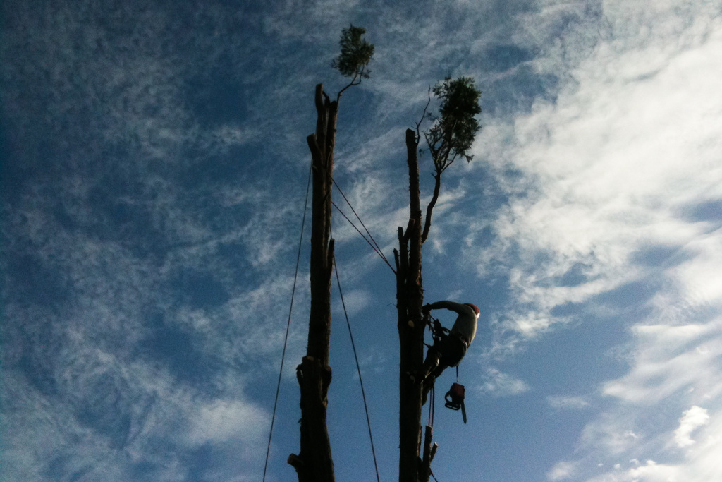 A worker from J&J Tree Removal Service scales the remnants of a cedar tree in Santa Monica.