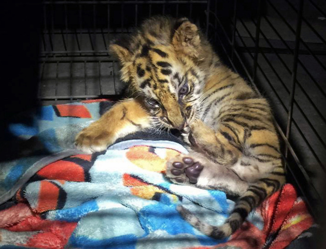 This photo shows an agent holding a male tiger cub that was confiscated at the U.S. border crossing at Otay Mesa southeast of downtown San Diego early Wednesday, Aug. 23, 2017. CBP said in a news release Thursday that the cub was found during a routine inspection of the car, crossing from Mexico into the U.S. Officials say the 18-year-old driver is a U.S. citizen and has been arrested.