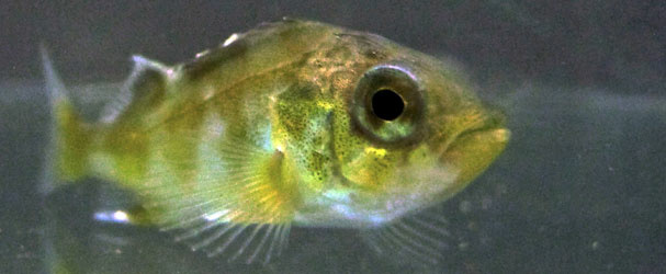 Nervous rockfish like to hide in shadows. A new study suggest that rising ocean acidification may exacerbate this odd, nervous behavior.