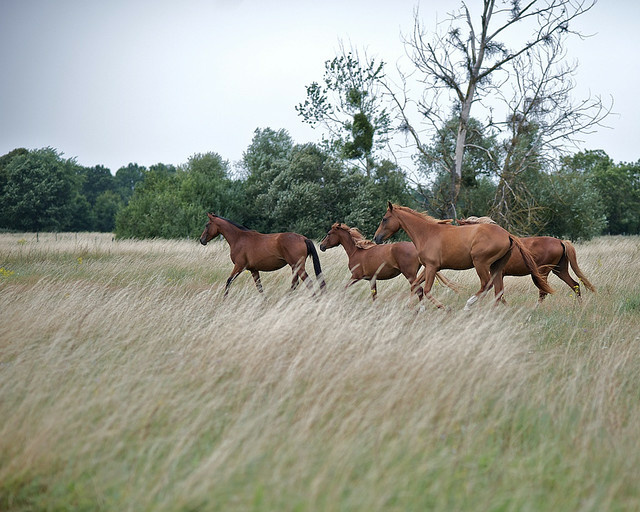 Will lifting the ban on horse slaughter in the country lead to more humane treatment?