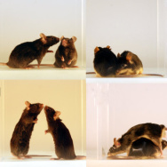 Asocial mice avoid faces, preferring to approach from the rear, when forced to interact with other mice.