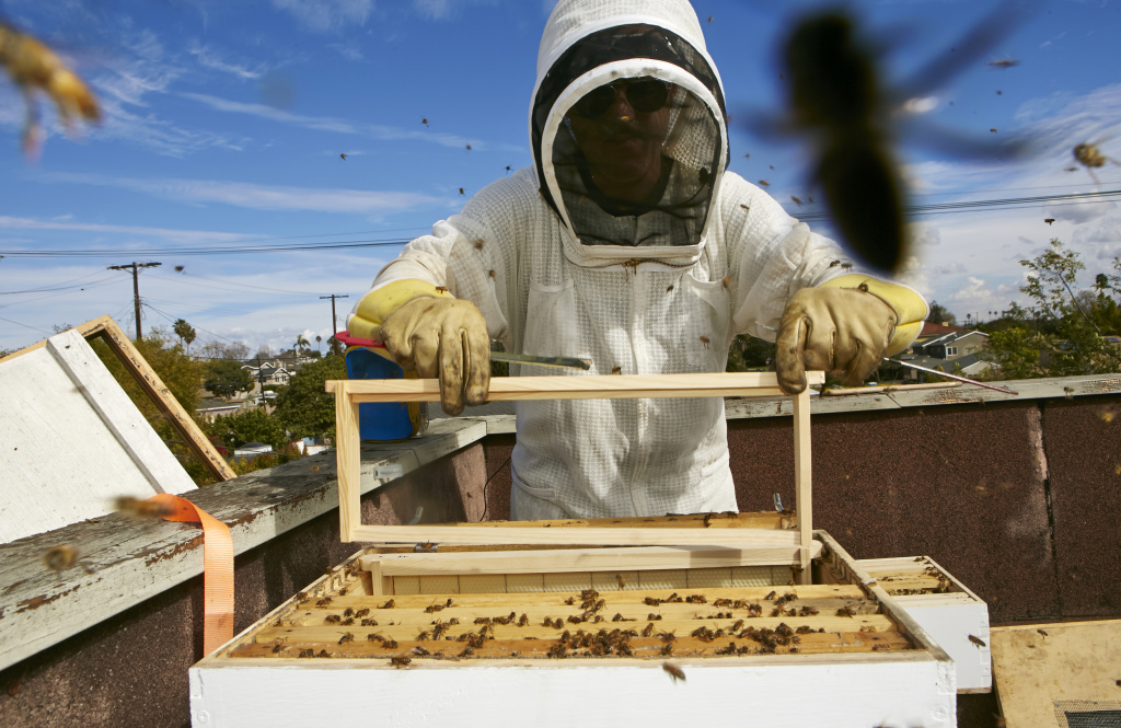 In this photo taken Friday, Jan. 31, 2014, Sweet Bee Removal professional beekeeper, Tyson Kaiser, expands a beehive hosted on the roof of a home in Los Angeles. The Los Angeles City Council will vote Wednesday, Feb. 12, 2014 whether to begin the process of granting urban bees legal residency in residential areas after a lengthy lobbying effort from bee lovers of all stripes. The vote comes against the backdrop of colony collapse disorder, a worrisome die-off of honeybees that has captured the attention of environmentalists and farmers worldwide.