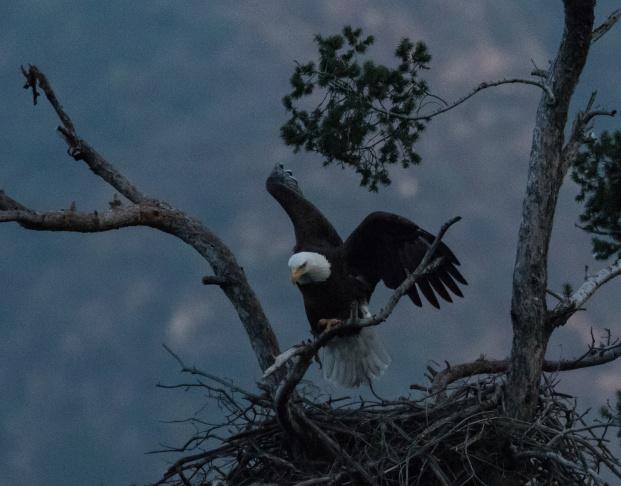 Male American Bald Eagle, San Gabriel Dam
