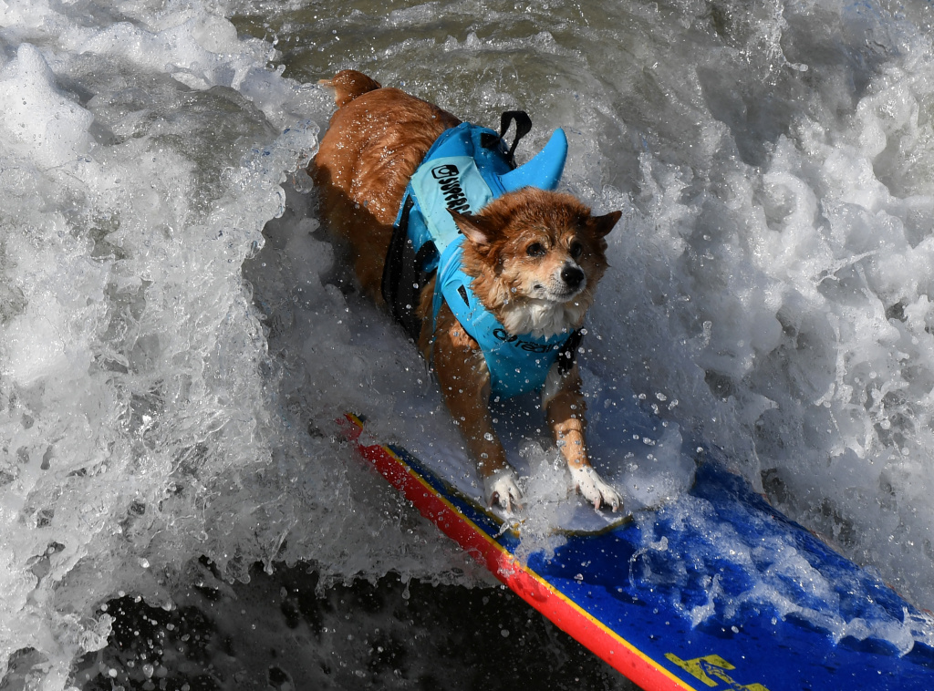 Surf dog Jojo the Corgi rides a wave during the 9th annual Surf City Surf Dog event at Huntington Beach, California on September 23, 2017.